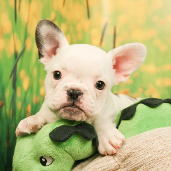 It don't matter if you're black or white! The Frenchie has