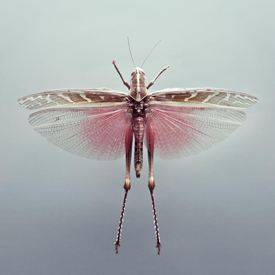 Saltamontes volador | Creepy Crawlers | Pinterest | Insectos ...