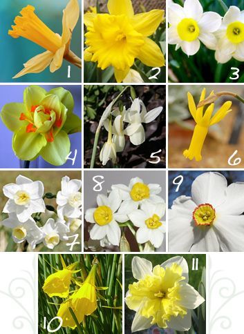 Flower Of The Month Daffodil Narcissus Daffodil Gardening Daffodils Pansies Flowers