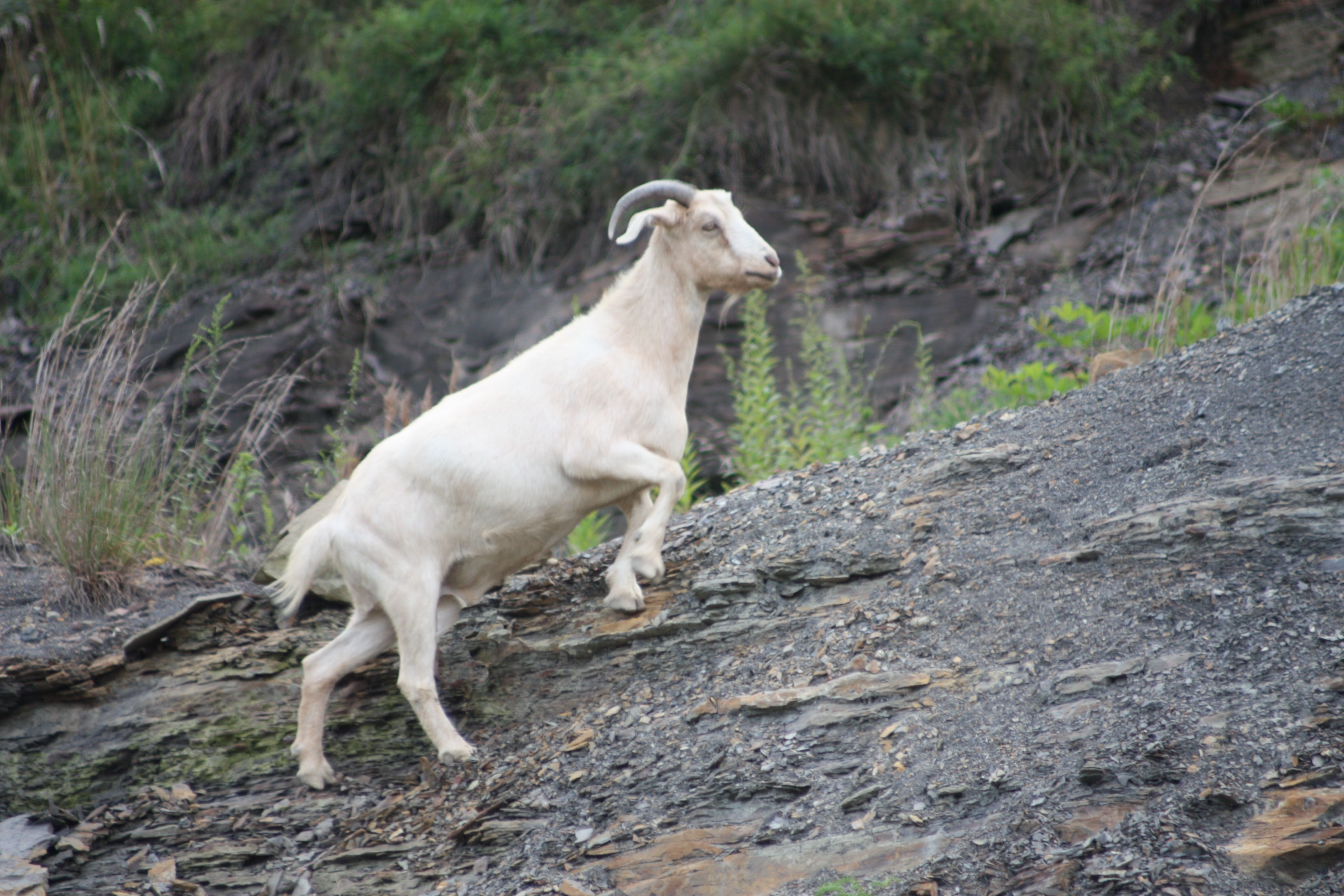 Powell Mountain Goat | The Mountain State   My Home in 2019 | Goats