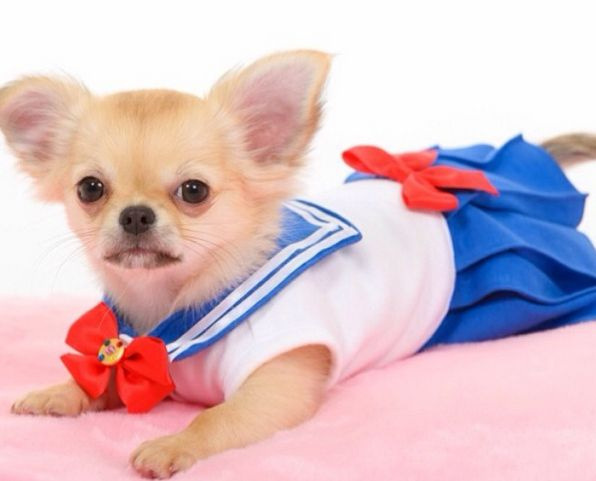 There S An Instagram Account That Dresses Chihuahuas Up As Sailor