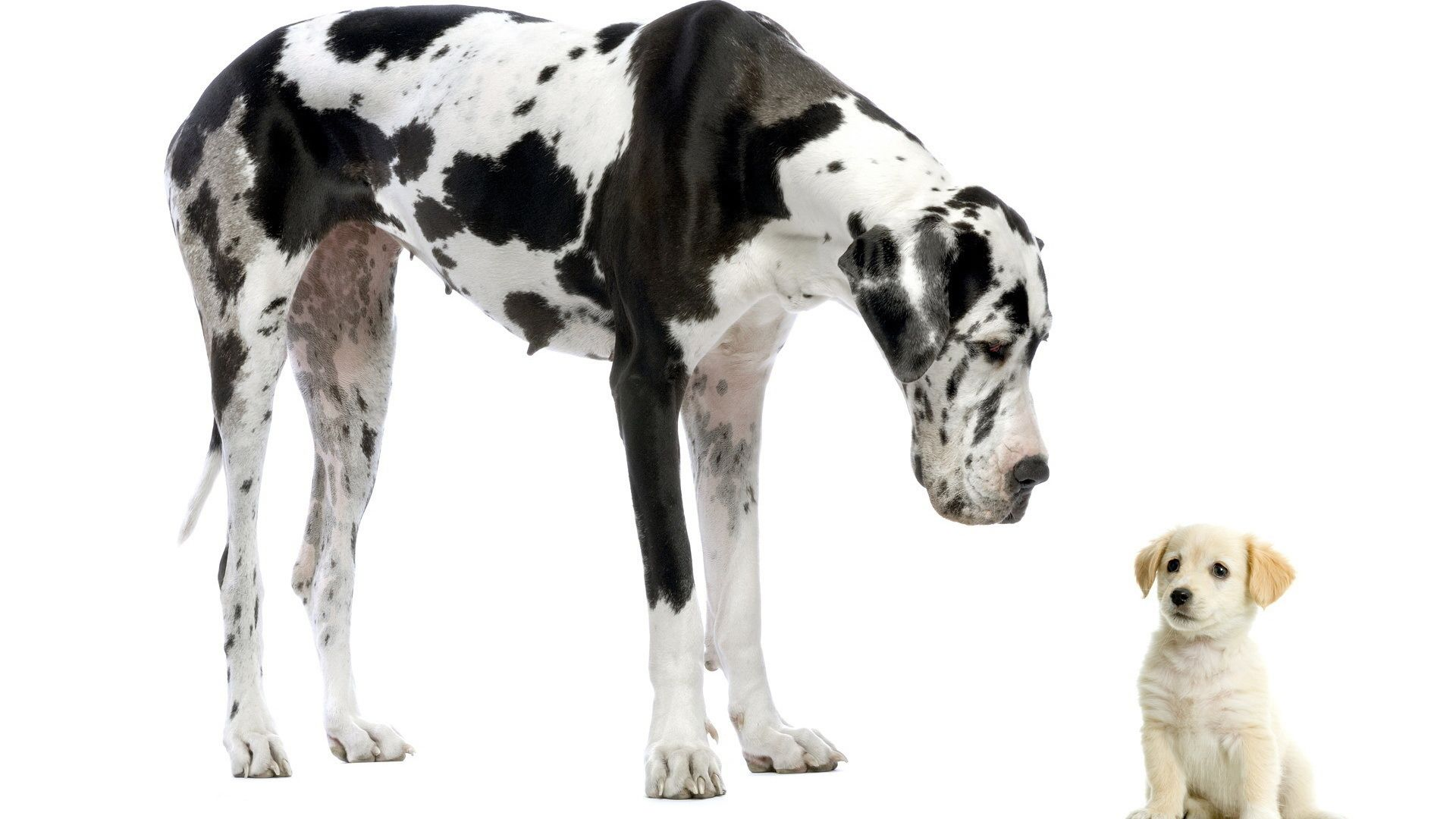 Great Dane New Wallpapers Large Dog Breeds Great Dane Big Dogs