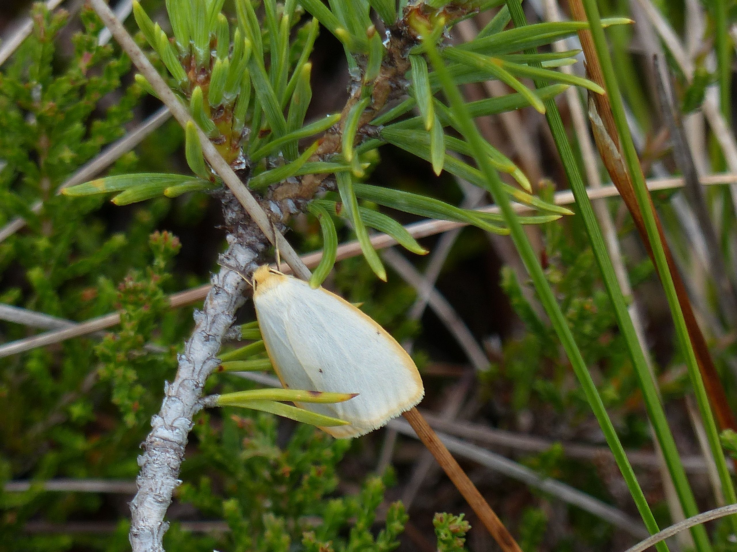 Four-dotted footman moth, Rabivere Bog.