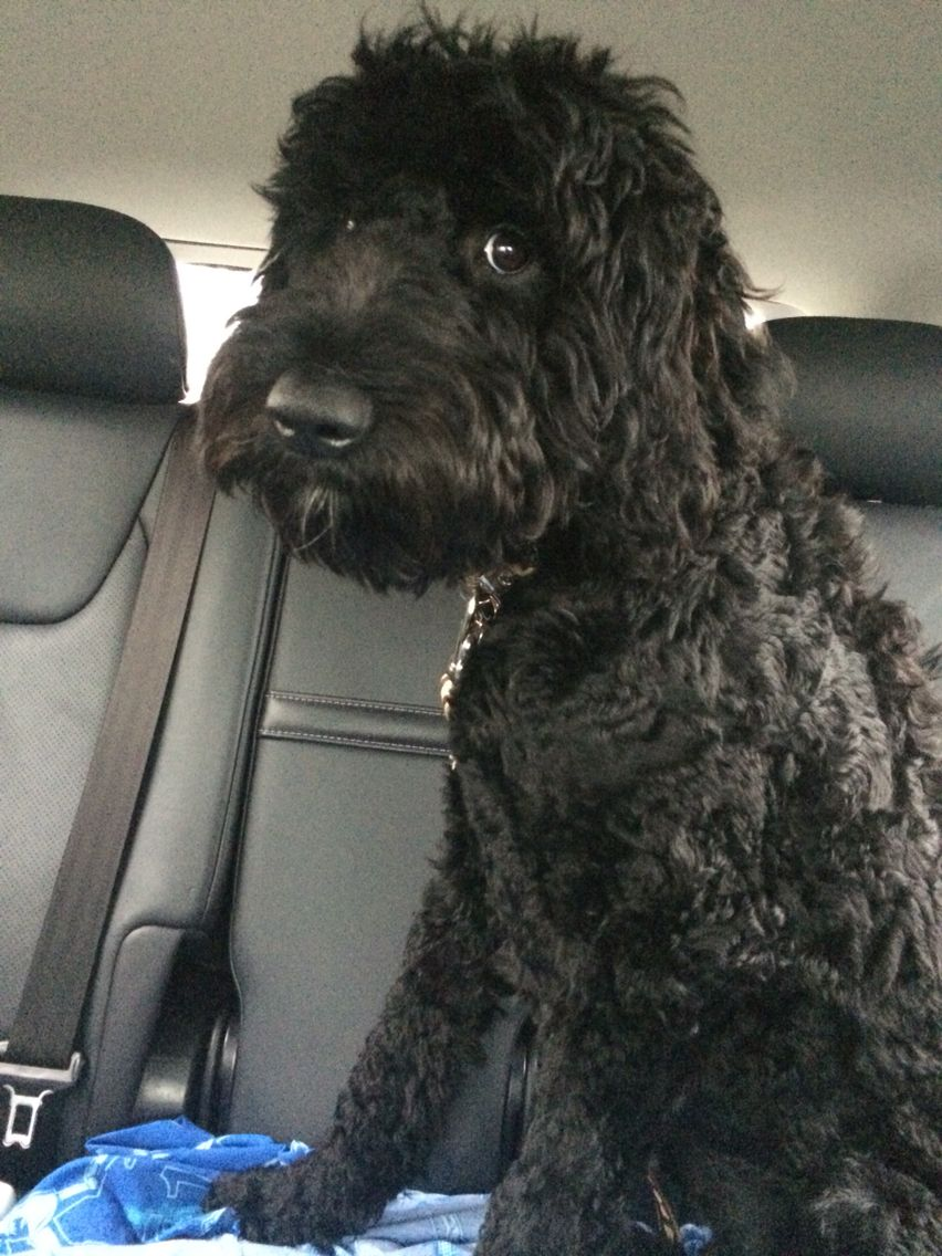 black labradoodle haircuts markus the goldendoodle black labradoodle goldendoodle