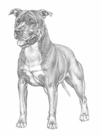 American Staffordshire: L'Amstaff ha caratteristiche di un cane di taglia media. un corpo nel quadrato e zampe muscolose. Il carattere dell'amstaff, sin da cucciolo, lo rende ideale per la vita in appartamento con la disponibilità di un cortile. Questo cane ha elevati livelli di energia e vigorosità. #amstaff #allevamenti #razze #cane #cuccioli