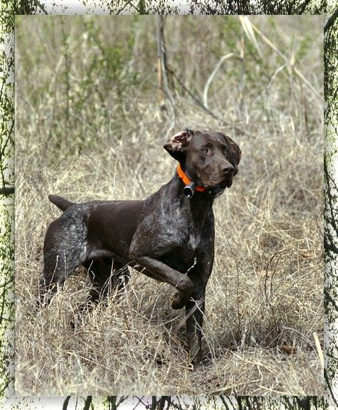 orchardfarm  |Black Ticked German Shorthaired Pointer Puppies