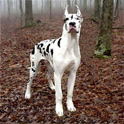 Dane Giant Harlequin Great Danes Dane Dog Spotted Animals