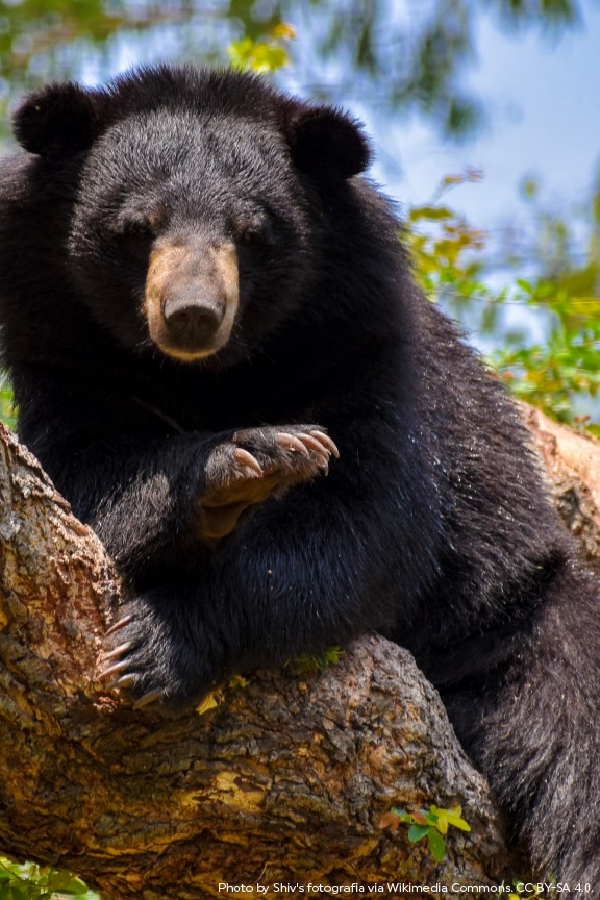 Asiatic Black Bears are some of the most arboreal bears