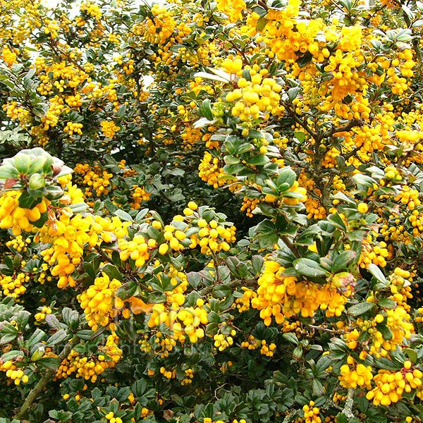 Small Trees For Borders: Berberis Darwinii (Berberis): Information, Pictures