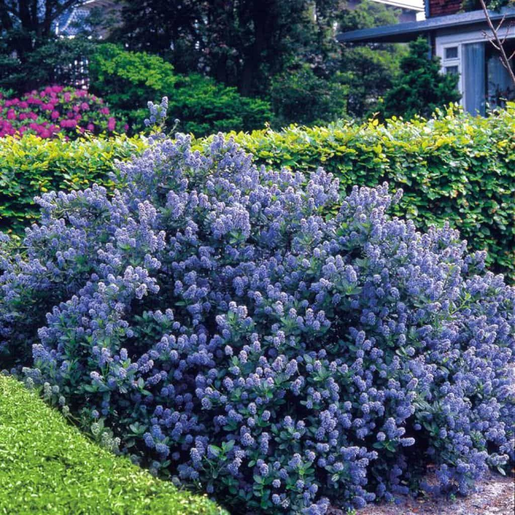 Beautiful Ceanothus Shrubs In The Yard Garden Shrubs Evergreen