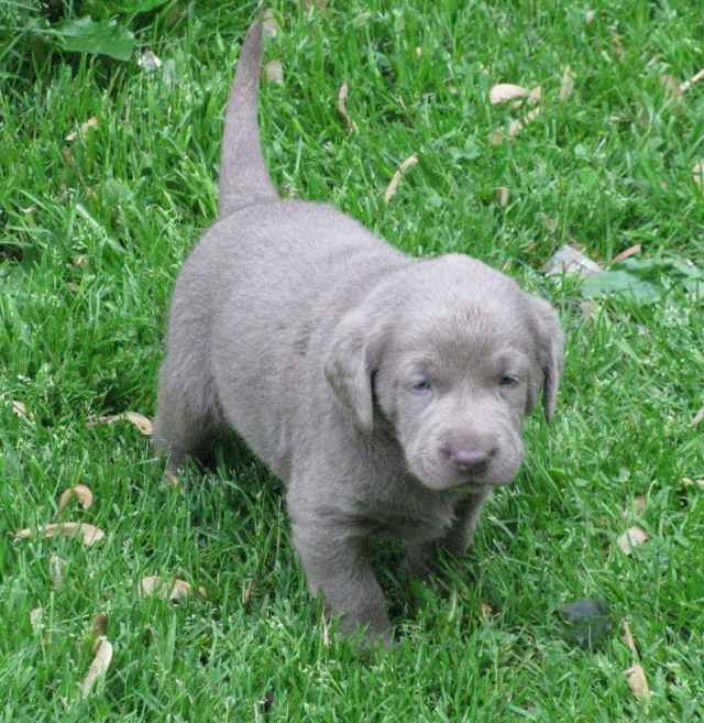 Silver Labrador Retriever Controversy And Pdf Downlaod Breed Analyisis Silver Labrador Silver Lab Puppies Silver Labrador Retriever