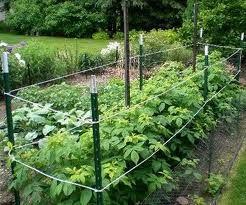 Staking Raspberries Raspberry Plants Growing