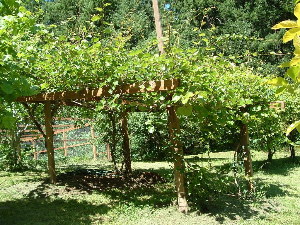 Kiwifruit arbour one male plant for up to 8 female plants for Kiwi coltivazione