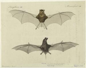 bat anatomical drawing (public domain)