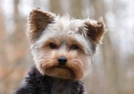 Short Haired Yorkie Yorkie Dogs Dogs Natural Dog