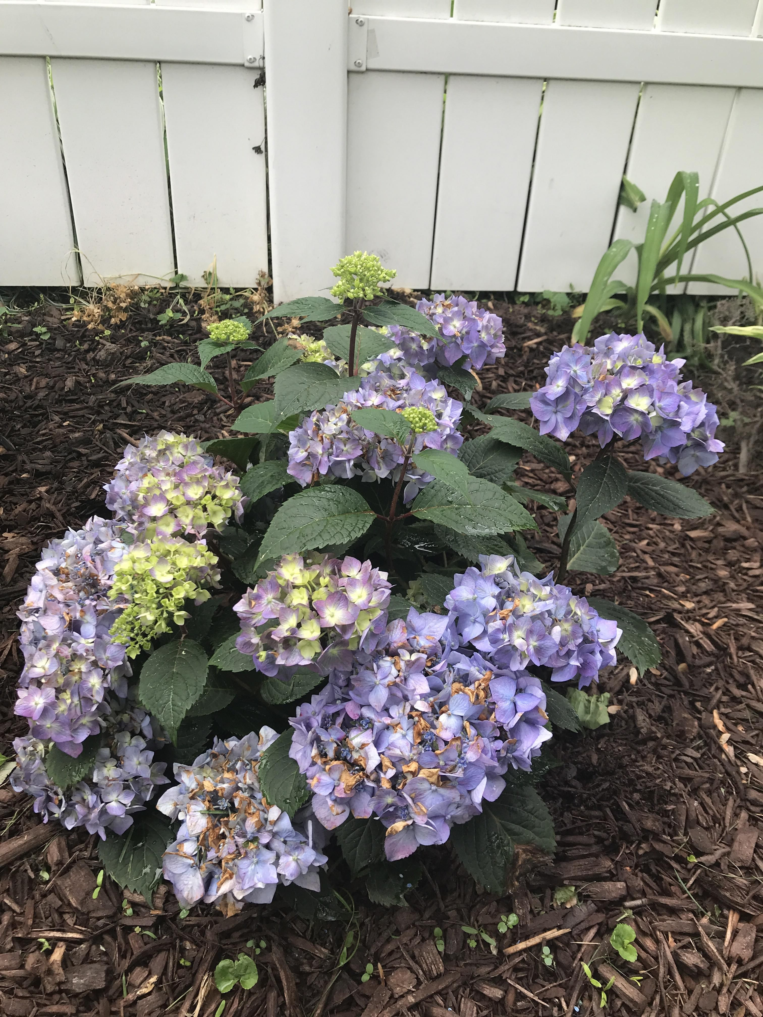 Why Are My Hydrangeas Turning Brown Gardening Garden Diy Home Flowers Roses Nature Landscaping Hydrangea Not Blooming Brown Flowers Hydrangea Flower