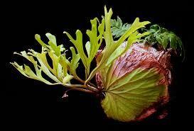 Platycerium ridleyi-Platycerium ridleyi for sale rare and unusual ferns for sale