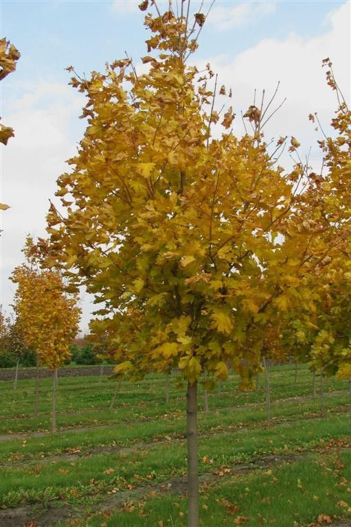 Emerald Lustre Norway Maple Is One Of Our Most Highly