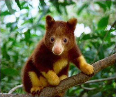 Golden Mantled Tree Kangaroo... wow... before recently I had no clue that tree kangaroos even existed! They're so cute, like teddy bears or something... :) They're endangered though. :'(