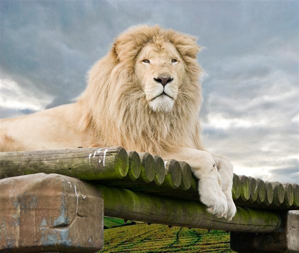pics for gt male white lion wallpaper