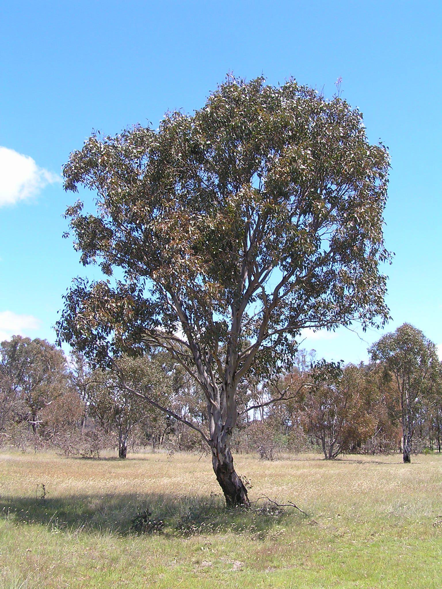 Blakelys Red Gum Eucalyptus Blakelyi A Common Eucalyptus Tree Of