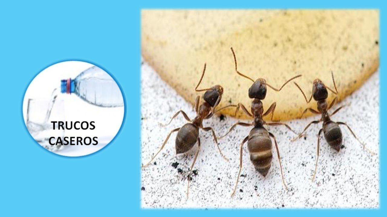 Como Acabar Con Las Hormigas En Mi Cocina Remedios Naturales Para Eliminar Las Hormigas Del Hogar Trucos