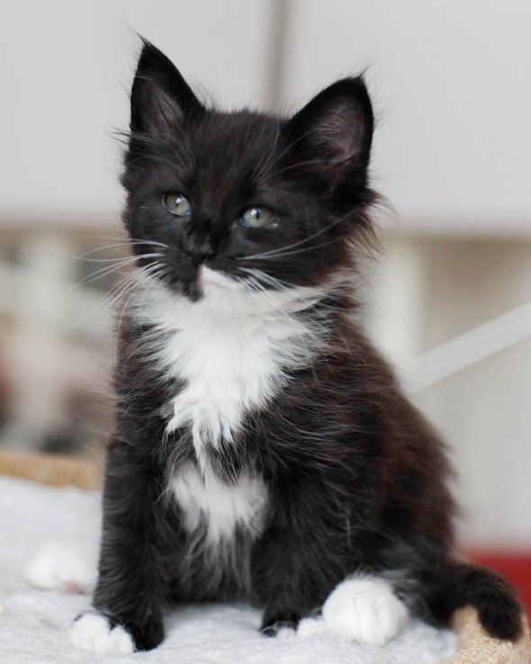 Norwegian Forest Cat This Looks Like My Baby When He Was A Baby Norwegian Forest Cat Pretty Cats Forest Cat