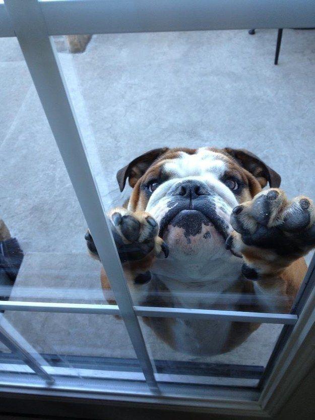 Sad looking bulldog puppy vs. glass door & Sad looking bulldog puppy vs. glass door: | Glass doors Doors and Dog pezcame.com