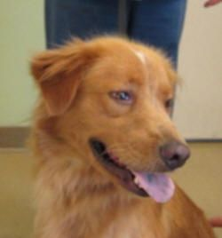 This Is Tanner And He Is An Approx 1 Year Old Golden Mix Possibly Nova Scotia Duck Dogs Golden Retriever Golden Retriever Nova Scotia Duck Tolling Retriever