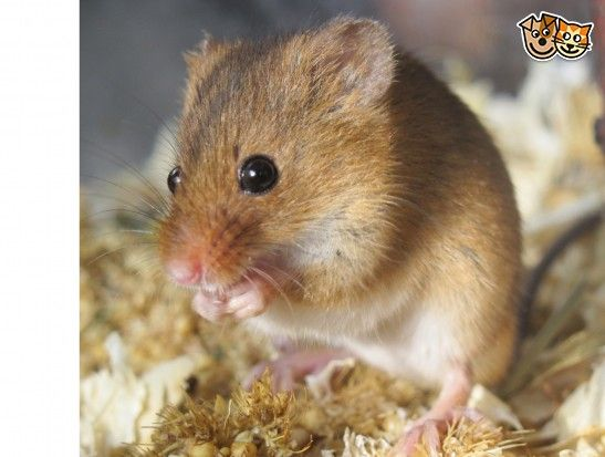 young harvest mice for sale Harvest mouse, Harvest, Pets