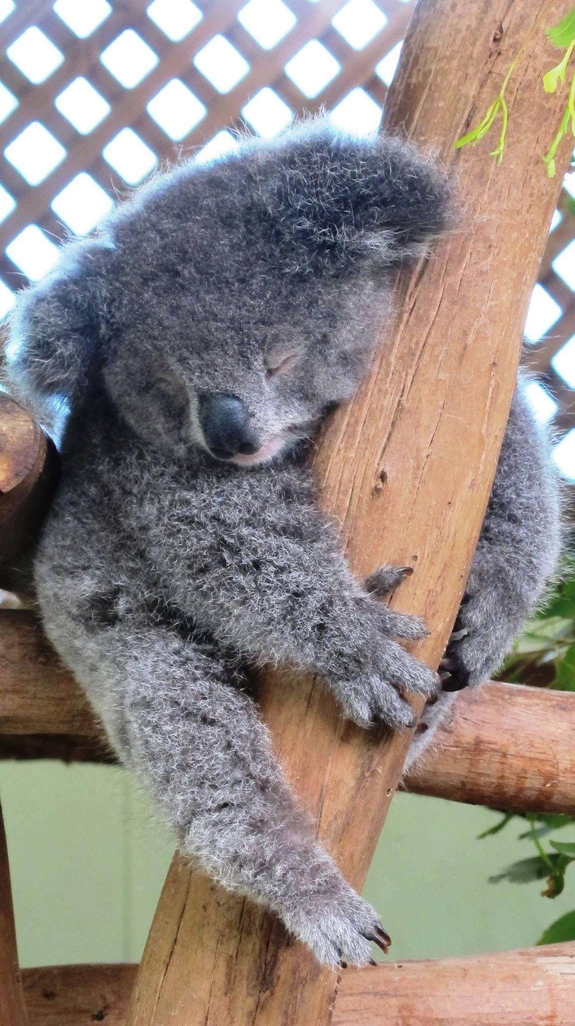 Pin by Nancy Canny on Koala | Funny koala, Baby koala, Koala  Funny Koala Memes