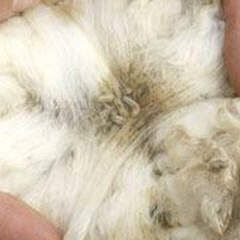 Rabbit With Fly Strike A Lethal Condition That Needs To Be Be Treated Asap Raising Rabbits Pet Rabbit Meat Rabbits