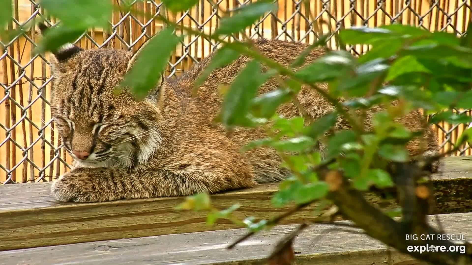 I M Watching The Big Cat Rescue Cam Streaming Live On Explore Org Big Cat Rescue Cat Rescue Big Cats