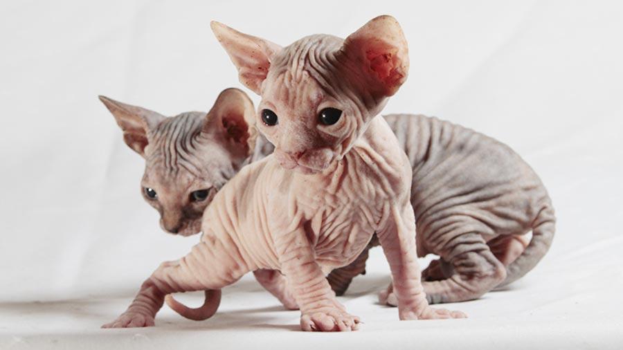 hairless kitten Google Search in 2020 Kitten breeds