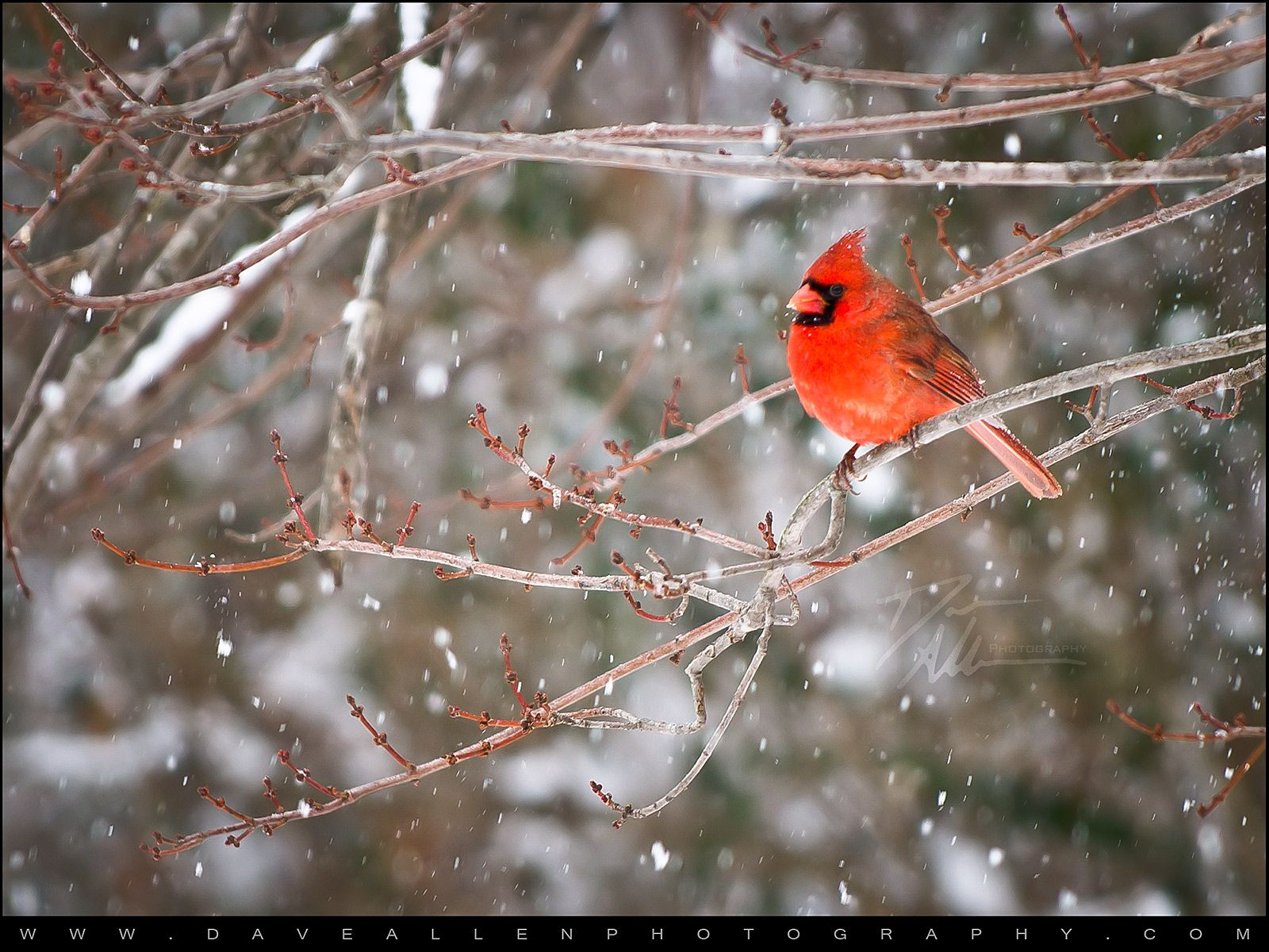 Cardinal In Snow Dave Allen Photography Snow Pictures Snow Scenes Free Desktop Wallpaper