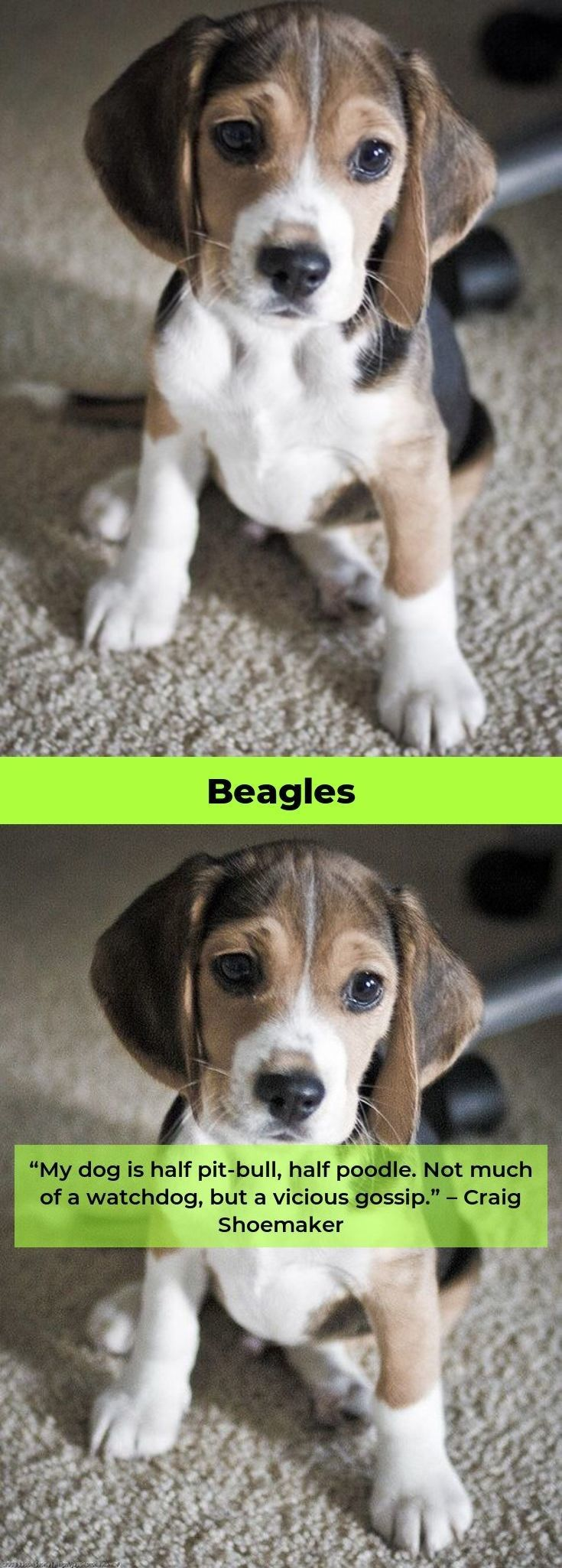Beagle Puppy From 8 Weeks To 8 Months Cute Dog Marie