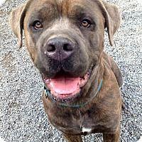 Cane Corso Cane Corso Mix Dog For Adoption In Stroudsburg Pennsylvania Apollo Mixed Breed Pets Dog Adoption