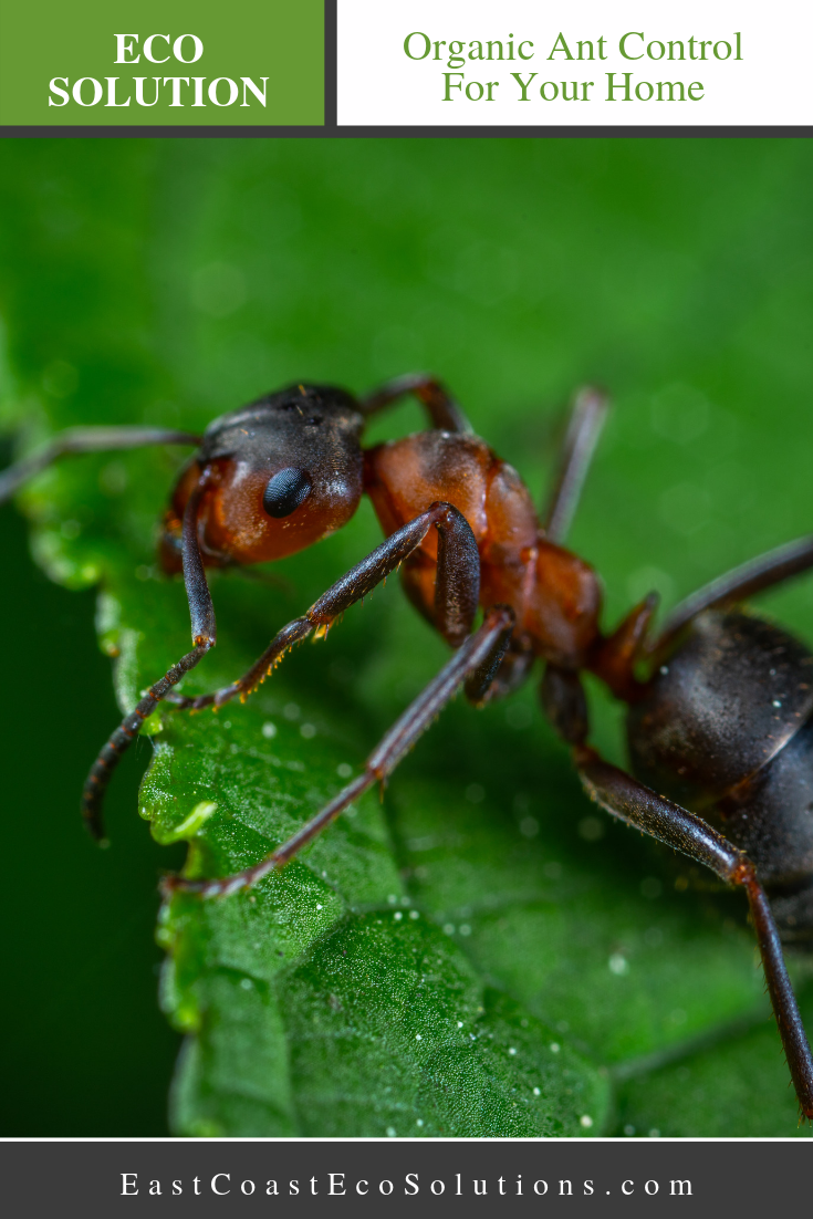 Organic Ant Control For Your Home Ant control, Pest