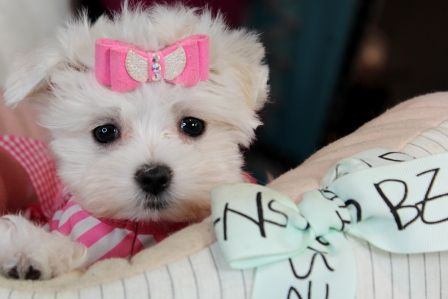 Teacup Maltese Puppies For Sale Florida Teacup Puppies Maltese