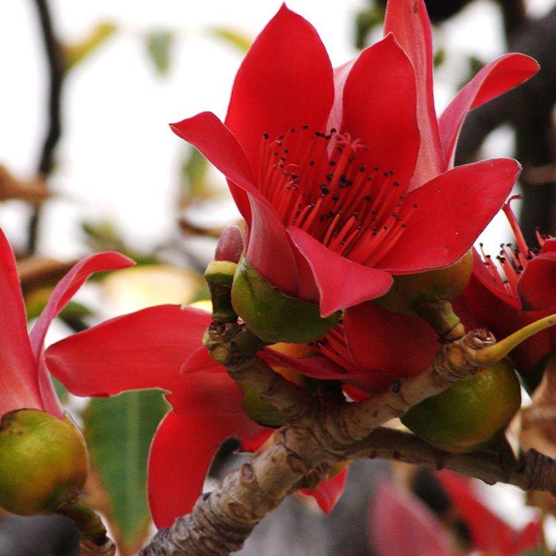 flower of the tree paineira vermelha Bombax ceiba, Salmalia