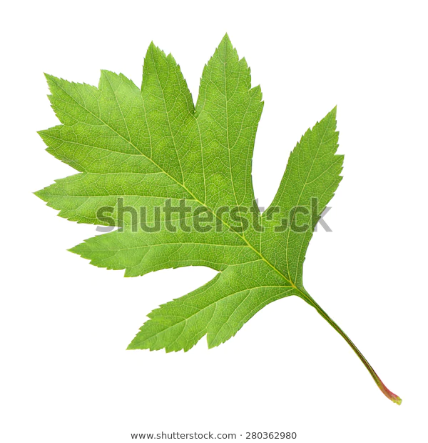 Hawthorn Leaves On White Background Stock Photo Edit Now 280362980 In 2020 White Background Stock Photos Plant Leaves