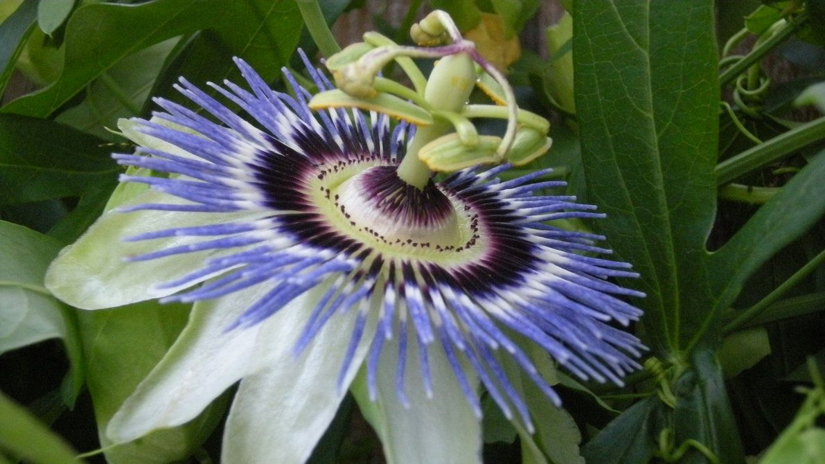 Blue Crown Passion Flower Flowers And Bushes And Trees Oh My