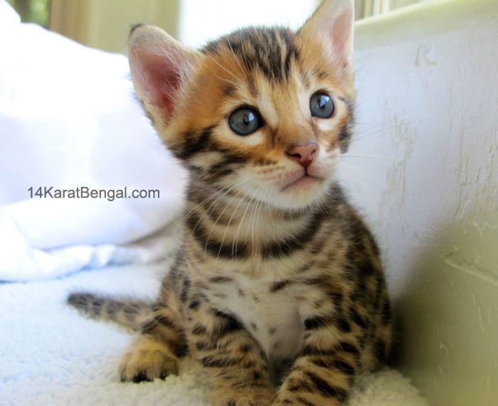 Pin By Rachel Ann On Bengal Cats Bengal Cat For Sale Bengal Kitten Bengal Kittens For Sale