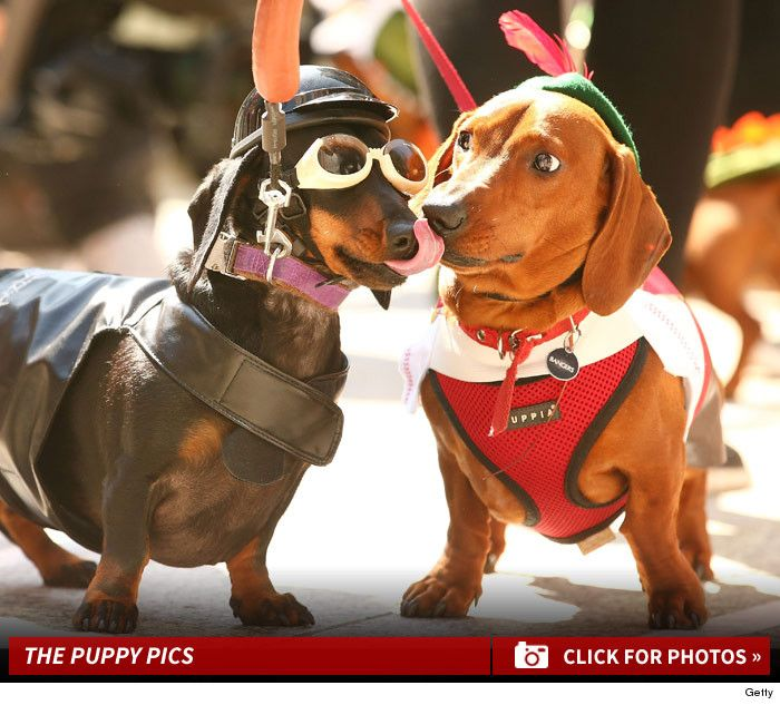 Adorable Dachshund Dog Racing In Melbourne Wiener Takes All