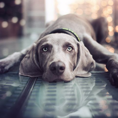 These Short Haired Dogs Make For Low Maintenance Pets Short Haired Dogs Weimaraner Puppies Large Dog Breeds