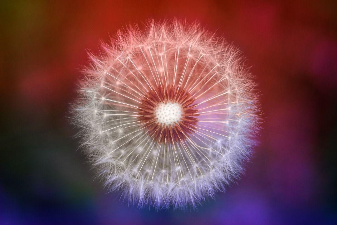Free Image On Pixabay Nature Dandelion Colorful Macro Macro