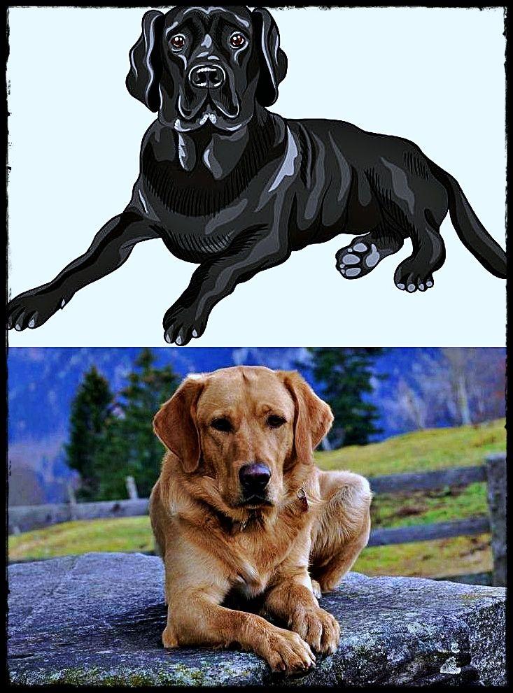 Labrador De Vanzare Incredible Labradormerchandise Labradorrescuedogs Labradorgreyhoundmix Labrador Retriever Labrador Puppy Dog Breeds