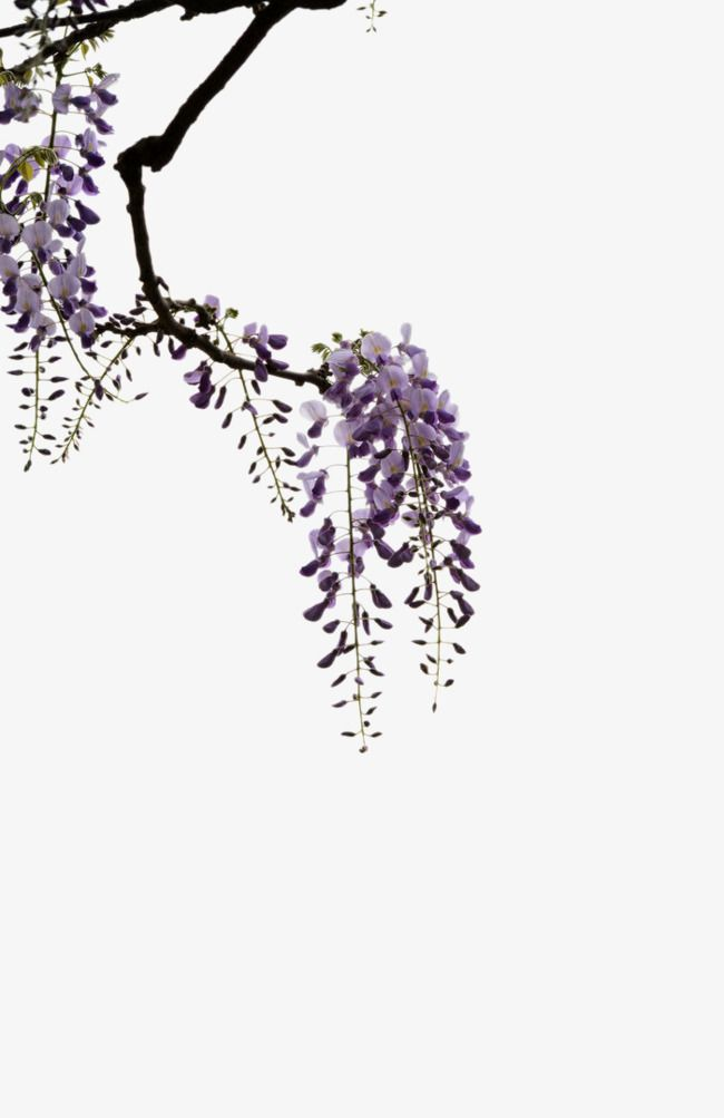 Trees Wisteria Picture Material Wisteria Japanese Art Styles Wisteria Tree