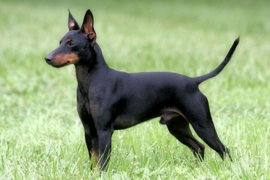 44 Best Dog Breeds For Apartment Living | Man of Many in ...