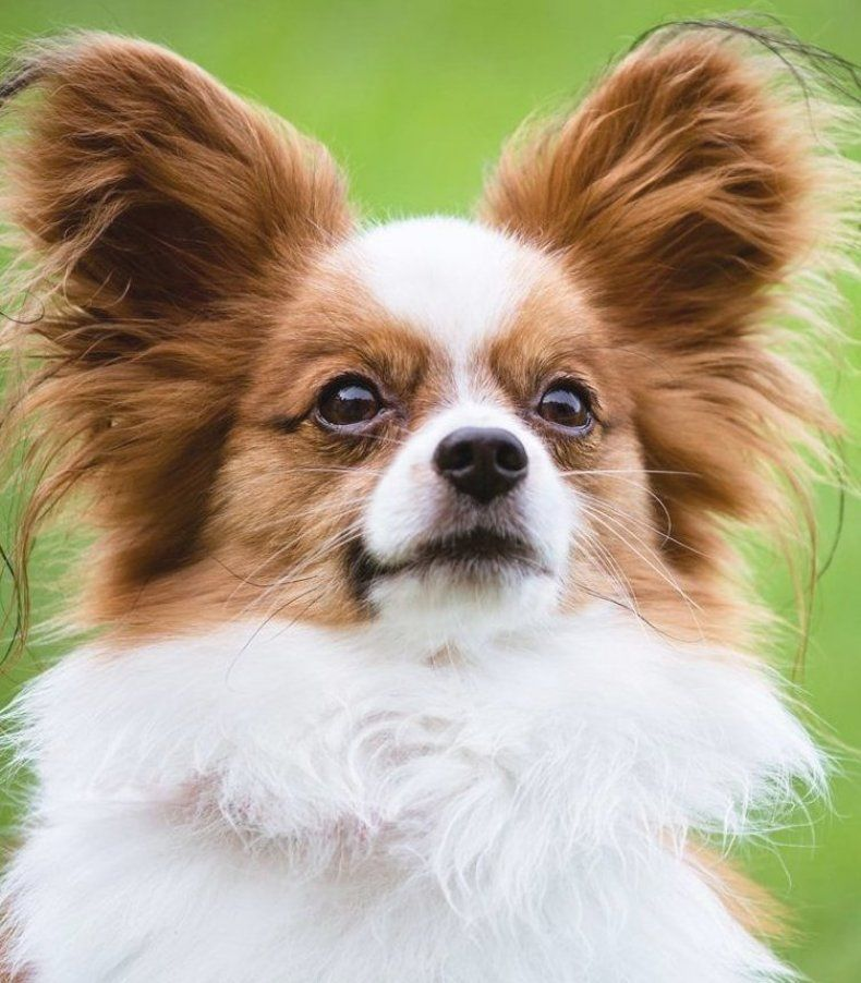 Checkout Top 10 Medium Size Dog Breeds That Don T Shed Mediumdogbreeds Mediumdogbreedsd In 2020 Dog Breeds Medium Dog Breeds That Dont Shed Medium Sized Dogs Breeds